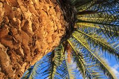 Tronco de palmeira com folhas imagens de stock