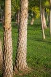 Tronco de palmeira da data imagem de stock