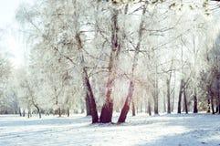 Tronco de tres abedules en la nieve Imagenes de archivo