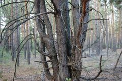 Tronco de um pinheiro Fotos de Stock