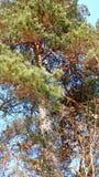 Tronco de um pinheiro com ramos verdes fotos de stock