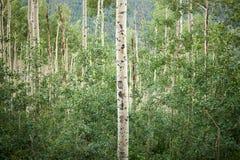 Tronco de uma única árvore do álamo tremedor em um bosque frondoso imagem de stock royalty free
