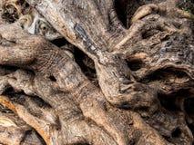 Tronco de uma oliveira velha Imagens de Stock