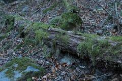 Tronco de un árbol cubierto en musgo Imagen de archivo libre de regalías