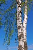 Tronco de un árbol de abedul con las hojas verdes Fotografía de archivo