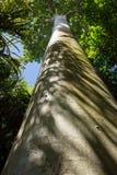 Tronco de un árbol del baobab y de un x28; Adansonia spp y x29; Imagen de archivo libre de regalías