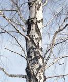 Tronco de un abedul contra el cielo azul Fotografía de archivo