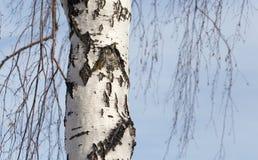 Tronco de un abedul contra el cielo azul Imagen de archivo