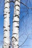 Tronco de un abedul contra el cielo azul Foto de archivo libre de regalías