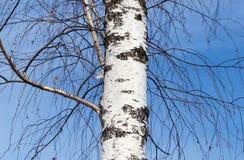 Tronco de un abedul contra el cielo azul Fotos de archivo libres de regalías