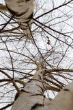 Tronco de un abedul en el invierno Fotografía de archivo