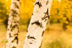 Tronco de un abedul en el otoño Foto de archivo