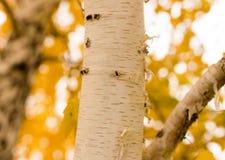 Tronco de un abedul en el otoño Foto de archivo libre de regalías