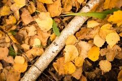 Tronco de un abedul en el otoño Fotografía de archivo