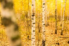 Tronco de un abedul en el otoño Fotos de archivo libres de regalías