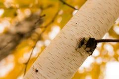 Tronco de un abedul en el otoño Fotos de archivo