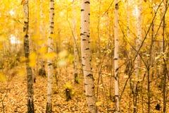 Tronco de un abedul en el otoño Fotografía de archivo libre de regalías