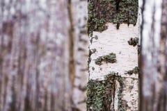 Tronco de un abedul en un bosque del abedul Imagenes de archivo
