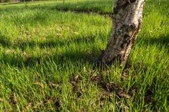 Tronco de un cierre del abedul para arriba alrededor de qué crecimiento fresco de la hierba Imágenes de archivo libres de regalías