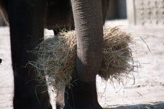 Tronco de un elefante indio que sostiene un paquete de ey fotos de archivo libres de regalías