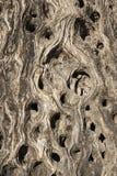 Tronco de un olivo viejo (fondo, textura) Fotos de archivo libres de regalías