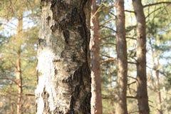Tronco de un primer del árbol de abedul en bosque del pino Foto de archivo libre de regalías