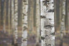 Tronco del árbol de abedul Fotografía de archivo libre de regalías