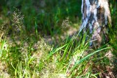 Tronco del árbol de abedul con el fondo borroso de la hierba verde y de flores amarillas en tiempo de primavera Imágenes de archivo libres de regalías