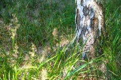 Tronco del árbol de abedul con el fondo borroso de la hierba verde y de flores amarillas en tiempo de primavera Imagen de archivo libre de regalías