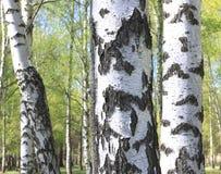 Tronco del árbol de abedul con el primer hermoso de la corteza de abedul en fondo del cielo Fotos de archivo