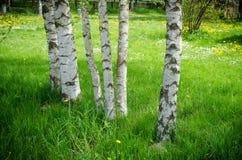 Tronco del árbol de abedul en arboleda con colores verdes claros Fotografía de archivo libre de regalías