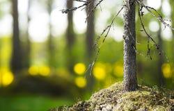 Tronco del árbol de abedul en luz hermosa de la tarde Fotos de archivo