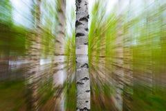 Tronco del árbol de abedul en primavera Imagen de archivo