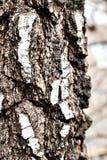 Tronco del árbol de abedul viejo, ascendente cercano de la corteza Fotografía de archivo libre de regalías