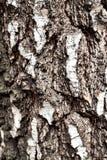Tronco del árbol de abedul viejo, ascendente cercano de la corteza Imagen de archivo