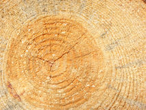 Tronco del árbol de pino Foto de archivo libre de regalías