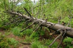 Tronco del árbol muerto en bosque del verano Foto de archivo libre de regalías