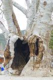 Tronco del árbol plano antiguo foto de archivo