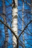 Tronco del abedul blanco en la arboleda del abedul iluminada por el sol contra el cielo azul Imagen de archivo