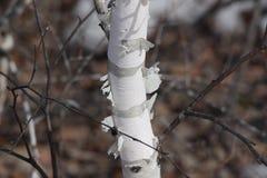 Tronco del abedul con la corteza de abedul en el primero plano/el paisaje de la primavera en el bosque/ Imágenes de archivo libres de regalías