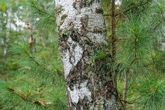 Tronco del abedul con las ramas spruce Imagen de archivo libre de regalías