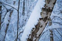 Tronco del abedul cubierto con nieve fresca Fotos de archivo libres de regalías