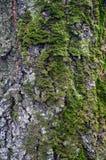 Tronco del abedul de la textura con el musgo Foto de archivo libre de regalías