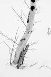 Tronco del abedul en invierno Imágenes de archivo libres de regalías