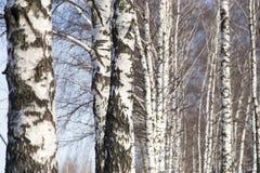Tronco del abedul en naturaleza Foto de archivo