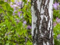 Tronco del abedul Fondo Textured Primavera en una arboleda del abedul Ramas de lilas florecientes en el fondo en una falta de def Fotos de archivo libres de regalías