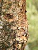 Tronco del abedul salvaje en naturaleza Foto de archivo libre de regalías