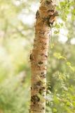 Tronco del abedul salvaje en naturaleza Foto de archivo
