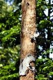 Tronco del abedul sin cualquier corteza, parásitos de los bosques de la polilla Imagen de archivo libre de regalías