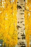 Tronco del abedul y hojas amarillas vibrantes Imagen de archivo libre de regalías